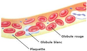 Le sang est composé de quatre éléments principaux: les globules rouges, les globules blancs, les plaquettes et le plasma.