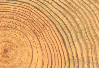 """La largeur des cernes est un témoignage des conditions extérieures que supportait l'arbre pendant cette période. L'analyse précise des cernes du bois peut donc être un moyen de datation de phénomènes à l'échelle """"historique""""."""