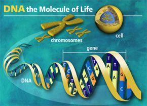 Un ruban d'ADN se trouve dans le noyau de chaque cellule