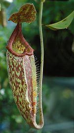 Le népenthès, plante carnivore, redouble d'ingéniosité pour digérer ses proies