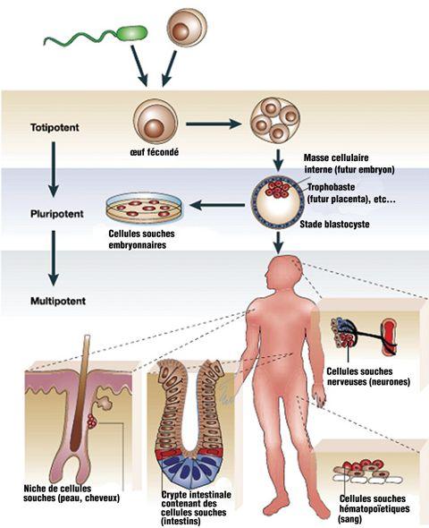 """Les chercheurs travaillent actuellement sur les cellules totipotentes (génèse de la division des premières cellules), afin de ne pas utiliser le terme """"d'embryon"""""""
