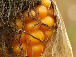 Suite au moratoire sur les cultures d'OGM en France, le gouvernement a pris la décision début 2008 de retirer les cultures de maïs transgénique MON 810 pour cette année