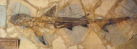 Requin conservé avec l'empreinte des parties molles dans le gisement éocène de Monte Bolca, Italie