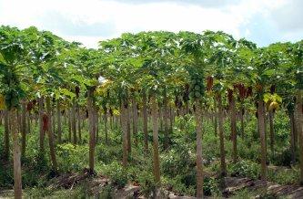 Champs de papaye à Hawaï