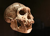 Le crâne de l'homme de Dmanisi exposé au Musée de Préhistoire des Eyzies de Tayac en Géorgie