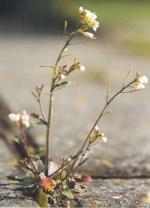 Considérée comme une mauvaise herbe pour les jardiniers Arabidopsis thaliana fait le bonheur des chercheurs