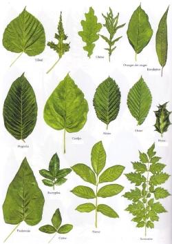 Différentes feuilles d'arbres