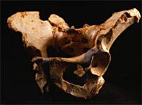 Pelvis Homo heidelbergensis, 500 000, Sima de los Huesos