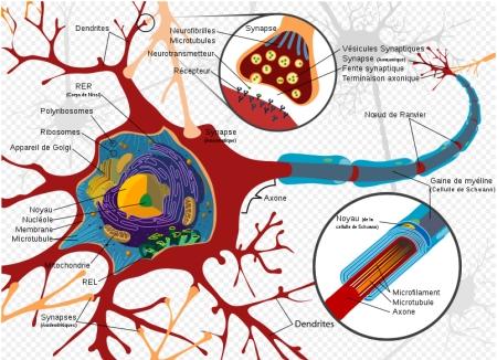 Schéma complet d'un neurone