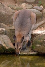 Wallaby d'Australie