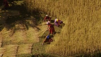 Récolte de blé dans la vallée du Dadès, Maroc (31°26' N – 6°01' O)
