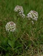 Thlaspi perfoliatum ou tabouret des bois est une plante extrêmophile qui aime les sols particulièrement riches en métaux. Elle fait partie des plantes utilisées pour la phytoremédiation