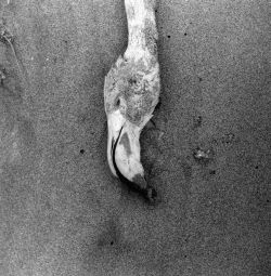 Lucien Clergue, Flamants morts, Faraman, 1956