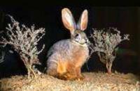 Le lapin des Boschimen d'Afrique du Sud est en voie d'extinction avec moins de 250 couples reproducteurs dans la nature