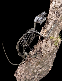 Plesiadapis appartient à un groupe frère des primates qui s'est éteint au début de l'éocène. Il grimpait en s'accrochant avec ses griffes aux troncs et aux branches comme les écureuils actuels.