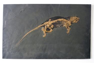 Ce petit animal à incisives coupantes et molaires broyeuses est un des premiers représentants des rongeurs modernes, l'ordre des mammifères qui compte le plus grand nombre d'espèces aujourd'hui.