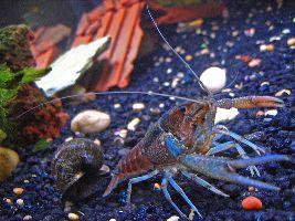 Une écrevisse - bien vivante celle-ci - dans un aquarium