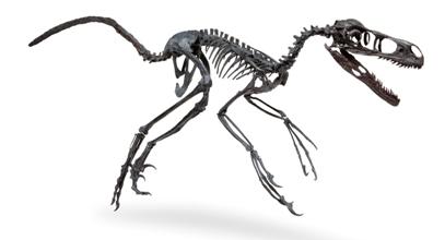 Malgré sa petite taille, Bambiraptor – ainsi baptisé par le petit garçon qui l'a découvert - est un redoutable chasseur, armé d'une griffe en forme de faucille et de dents acérées. Comme Unenlagia, il appartient au groupe des Droméosaures, des dinosaures à plumes qui ont un ancêtre commun avec… les oiseaux!