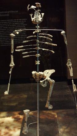 Lucy, Australopithecus afarensis, découverte par le trio Coppens, Taieb, Johanson.