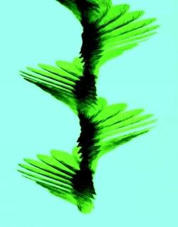 Chronophotographie de la chute d'une samare d'érable. Elle fait 15 à 30 tours sur elle-même en une seconde.