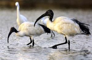 Echappé d'un parc zoologique en 1994, l'ibis a trouvé depuis ses repères dans le golfe du Morbihan...