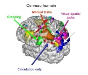 Nombres et longueurs sont codés par des neurones très proches dans le cortex pariéta