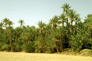 Tozeur (oasis du Djerid, Tunisie)