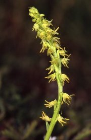 Orchis musc ( Heminium monorchis)