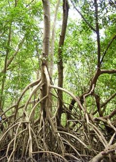 Palétuvier de la Mangrove de Rivière-Salée en Martinique