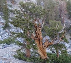 Le Pinus longaeva peut atteindre les 5000 ans d'âge. On le trouve aux Etats-Unis.