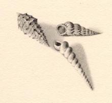 Dessin de coquillage par Henri Mondor illustrant le livre de Paul Valery L'Homme et la coquille