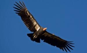 Le Condor, seigneur des oiseaux