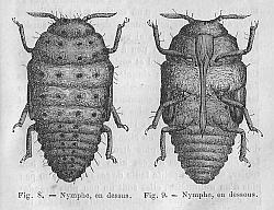 Nymphe de Phylloxéra