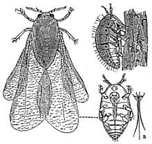 Phylloxéra (Daktulosphaira vitifoliae)