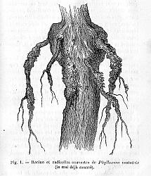Racines couvertes de Phylloxera vastatrix