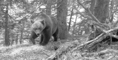 Photo d'ours prise dans les Pyrénées en mai 2011 par l'équipe de l'ONCFS.