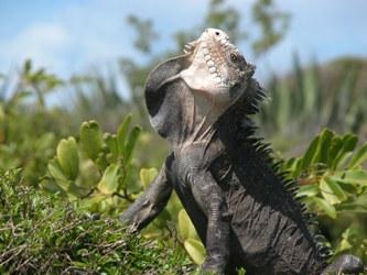 Iguana delicatessima,  espèce menacée de l'Ile de la Réunion.