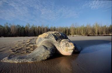 Tortue luth, espèce menacée classée sur la liste rouge de l'UICN.