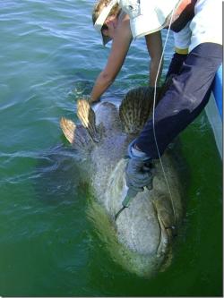 """Le mérou géant au large de la Guyane est """"protégé"""" de la chasse sous-marine par les eaux troubles."""