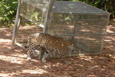 Les jaguars qui vivent trop près des habitations sont capturés et relâchés plus loin dans la forêt guyannaise.