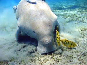 On estime qu'il n'existe plus qu'une dizaine de Dugong au large de Mayotte.